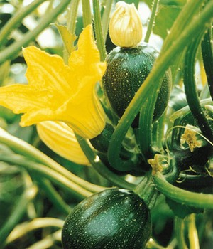 Veredelte Zucchini 'Eight Ball' F1