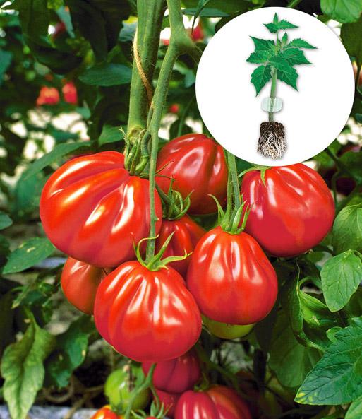 veredelte ochsenherz tomate 39 aurea 39 tomaten jungpflanzen bei baldur garten. Black Bedroom Furniture Sets. Home Design Ideas