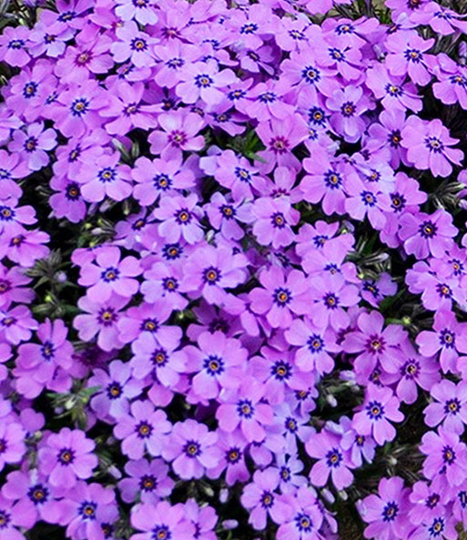 Phlox 'Eye Shadow'