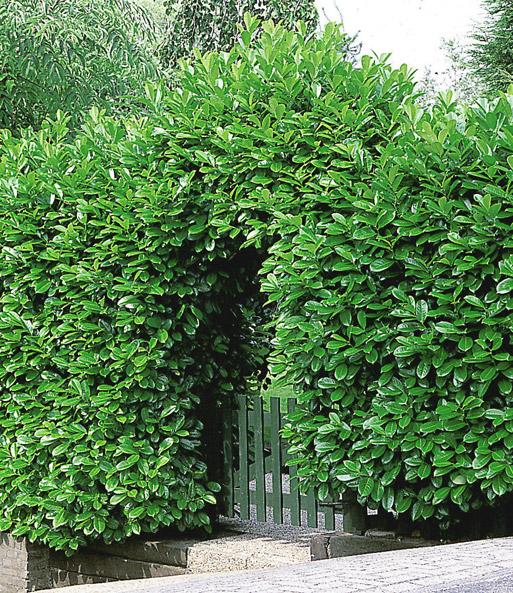 Berühmt Kirschlorbeer-Hecke: 1A-Pflanzen online kaufen | BALDUR-Garten &TT_66