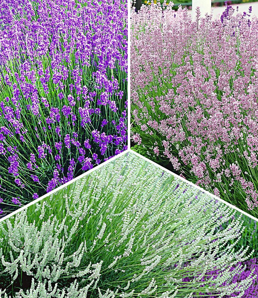 Lavendel-Kollektion
