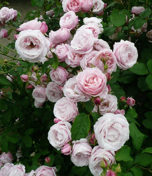 kletternde malerrose 39 billet doux 39 1a rosenpflanzen