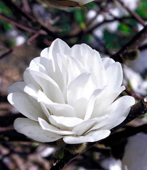 Magnolie Kleinwüchsig magnolie mag s pirouette 1a qualität kaufen baldur garten