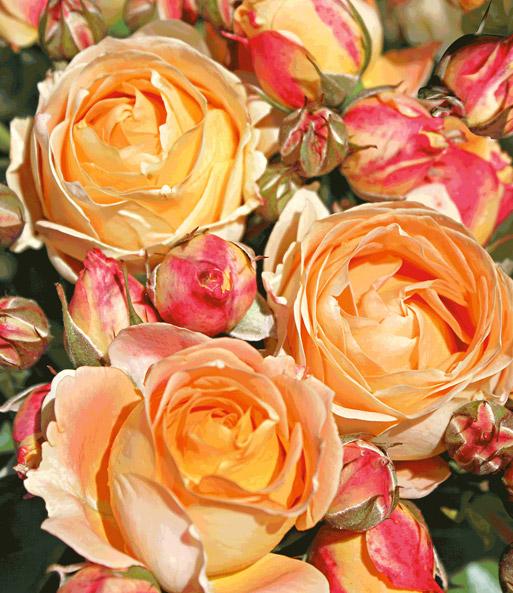 beet rose 39 dolce vita 39 1a rosenpflanzen bestellen. Black Bedroom Furniture Sets. Home Design Ideas