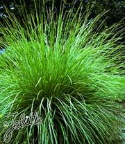 Carex \'Bronze Reflection\'   Ziergräser bei BALDUR-Garten