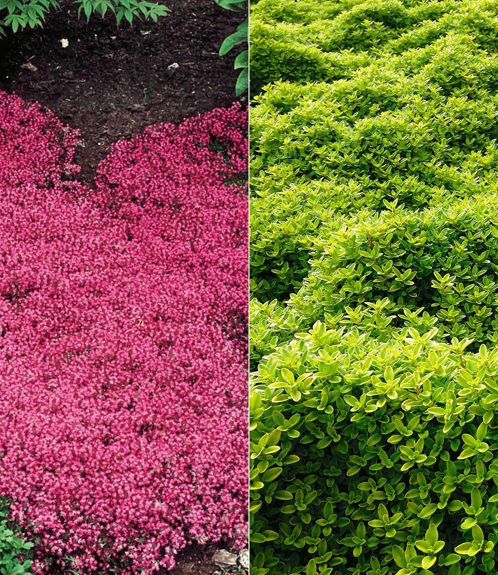 Thymian-Kollektion rot und grün