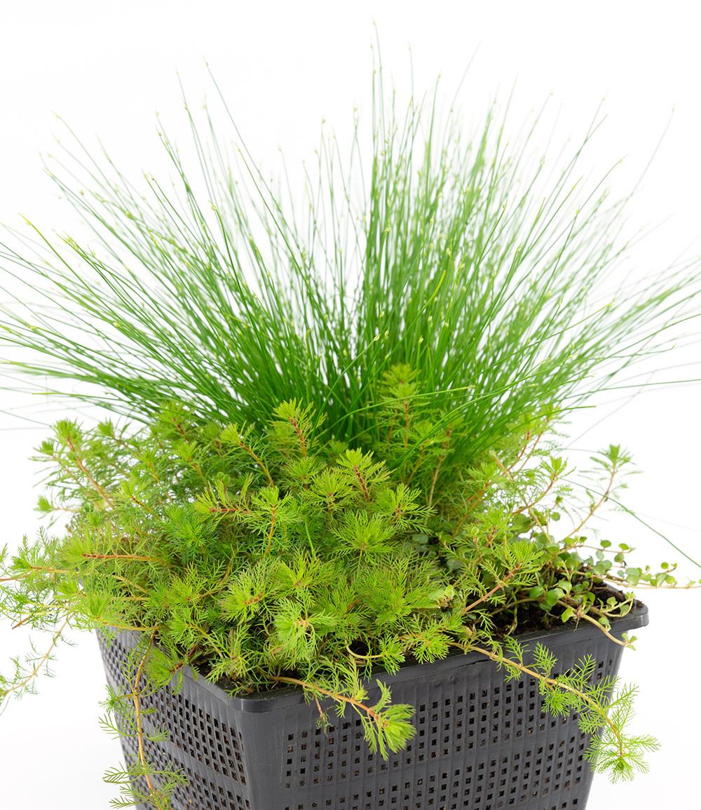 Sauerstoff-Teichpflanzen im Korb