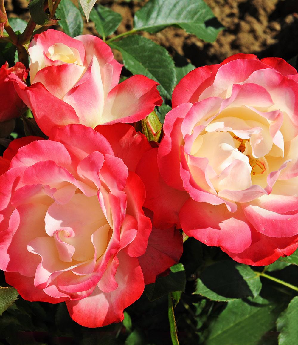 Beet-Rose 'Carmagnole®'
