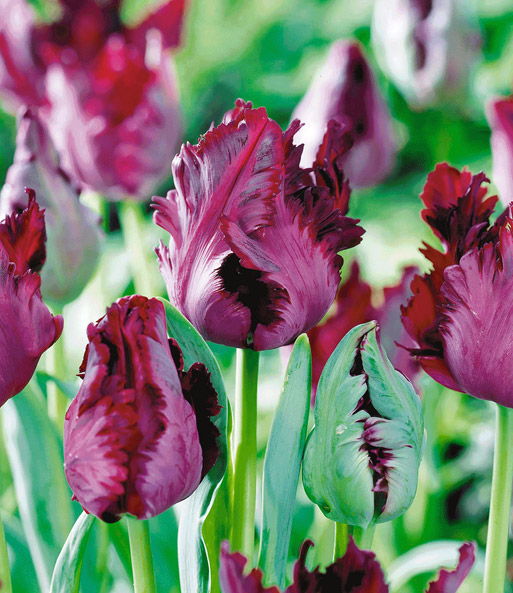 Papageien-Tulpe 'Black Parrot'