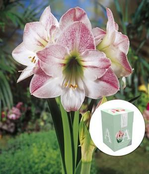Amaryllis ´Apple Blossom´ mit Geschenkbox,1 Zwiebel