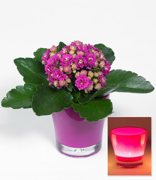 kalanchoe rosa teelicht bertopf pink baldur garten. Black Bedroom Furniture Sets. Home Design Ideas