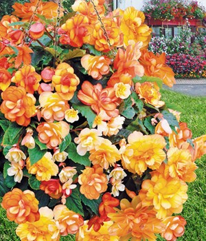 Begonia F1 'Apricot Shades Improved'