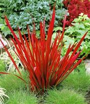 ziergräser-kollektion rot und blau | ziergräser bei baldur-garten, Garten und bauen