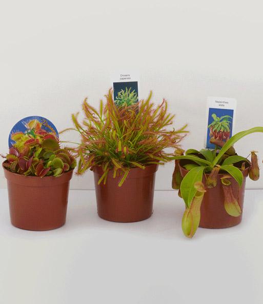 fleischfressende pflanzen set zimmerpflanzen bei baldur garten. Black Bedroom Furniture Sets. Home Design Ideas