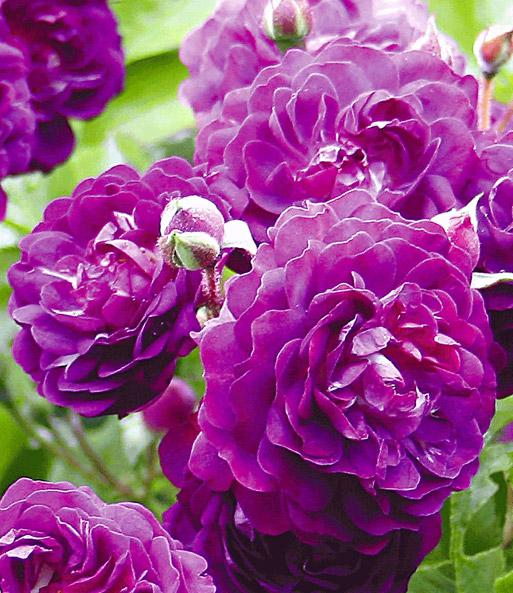 rambler rose bleu magenta 1a qualit t baldur garten. Black Bedroom Furniture Sets. Home Design Ideas