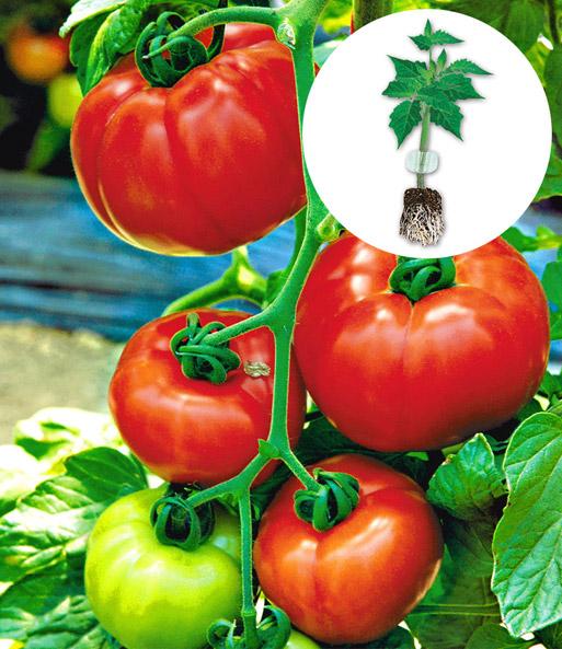 veredelte tomate 39 garance 39 f1 top qualit t kaufen baldur garten. Black Bedroom Furniture Sets. Home Design Ideas