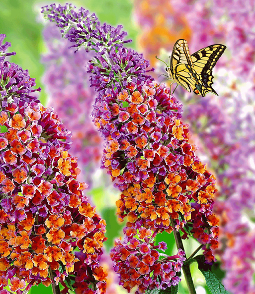 Buddleia 'Flower Power®'