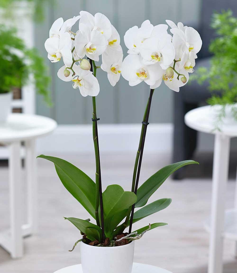 Phalaenopsis Orchidee, 2 Triebe, 'Weiß'
