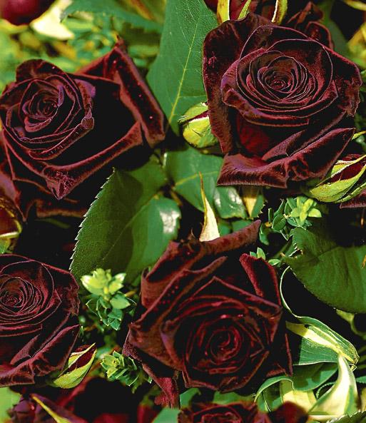 edelrose black baccara top qualit t kaufen baldur garten. Black Bedroom Furniture Sets. Home Design Ideas