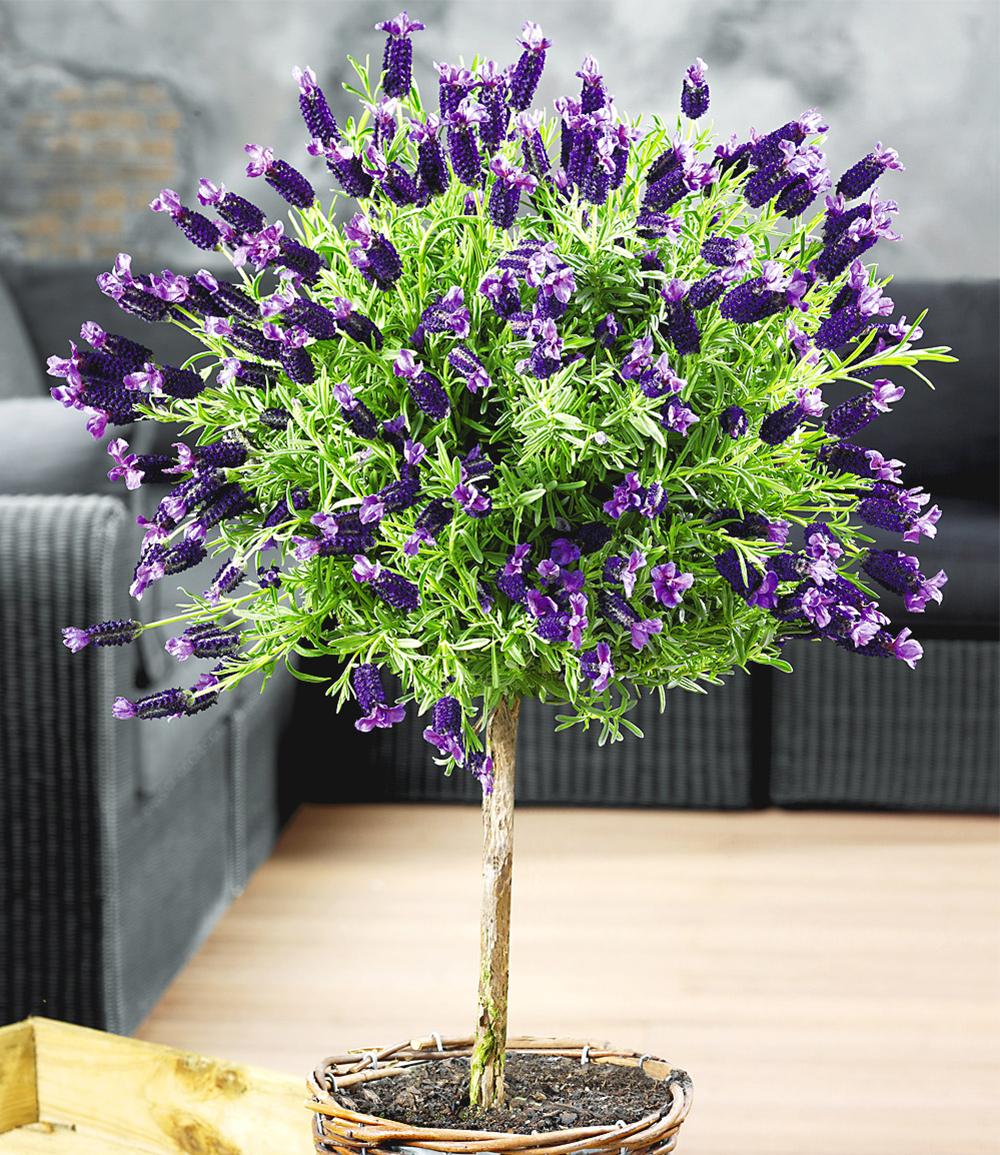 Lavendelstämmchen mit Krone