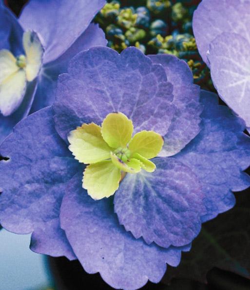 freiland hortensie 39 blueberry chees hortensien bei baldur garten. Black Bedroom Furniture Sets. Home Design Ideas