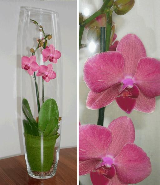 phalaenopsis orchidee ros pink in glasvase baldur garten. Black Bedroom Furniture Sets. Home Design Ideas