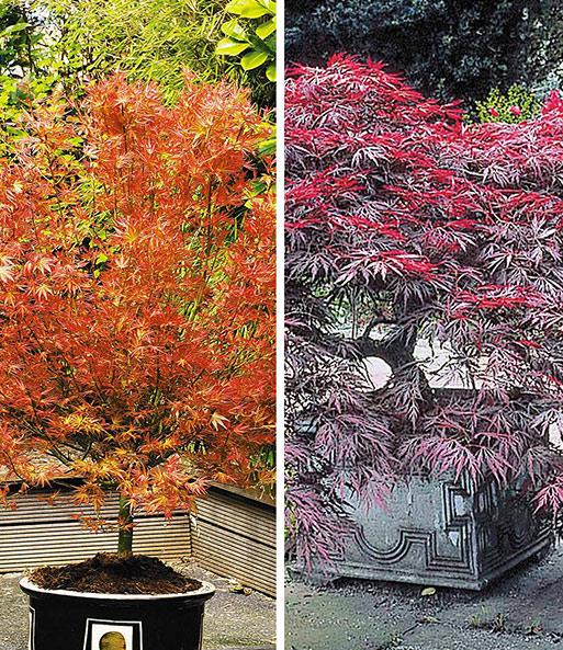Japanische Ahorn Kollektion 1a Qualitat Kaufen Baldur Garten