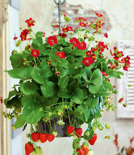 Gemeinsame Balkon-Erdbeere Ruby Ann: 1A-Qualität | BALDUR-Garten @EY_39