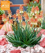 Aloe 'Safari Sunrise®'