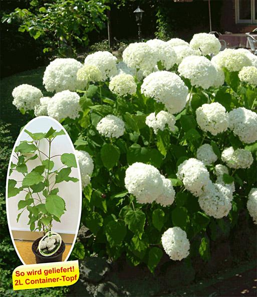 schneeball hortensie 39 annabelle 39 hortensien bei baldur. Black Bedroom Furniture Sets. Home Design Ideas