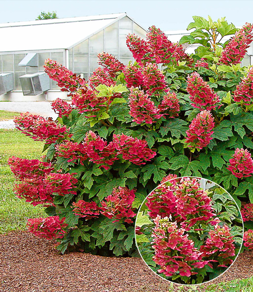 Hortensie 'Ruby Slippers'