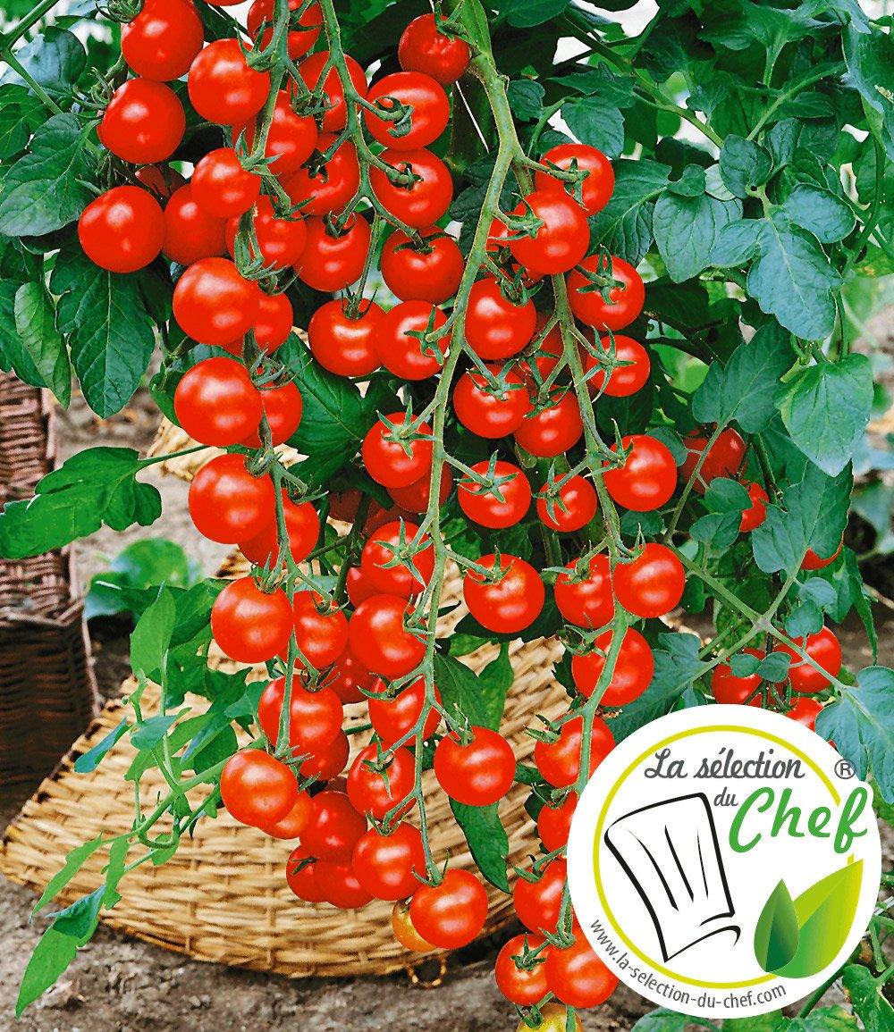 veredelte kirsch tomate 39 pepe 39 f1 tomaten bei baldur garten. Black Bedroom Furniture Sets. Home Design Ideas