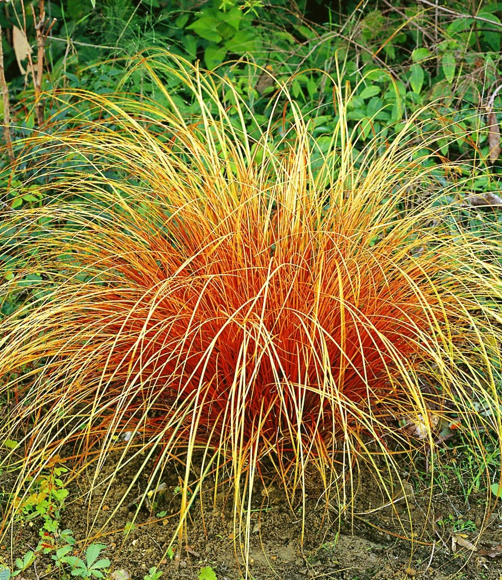 Carex 'Bronze Reflection'