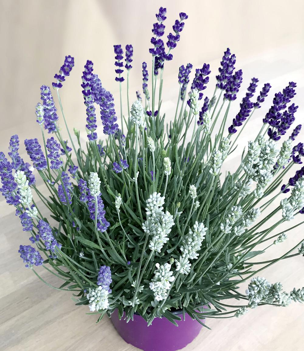 Lavendel-Trio 'Bee Zee'