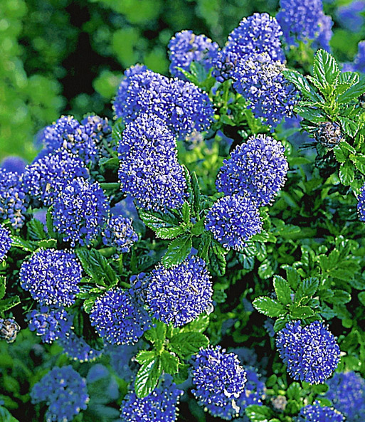 ceanothus st mmchen 39 blue mound 39 immergr ne str ucher. Black Bedroom Furniture Sets. Home Design Ideas