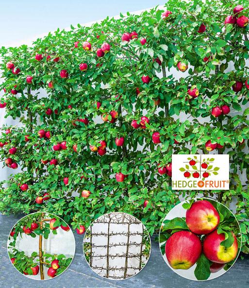apfel hecke hedge fruit gala 1a qualit t kaufen baldur garten. Black Bedroom Furniture Sets. Home Design Ideas