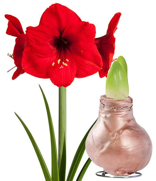 wachs amaryllis 39 touch of gloss 39 ku amaryllis bei baldur garten. Black Bedroom Furniture Sets. Home Design Ideas
