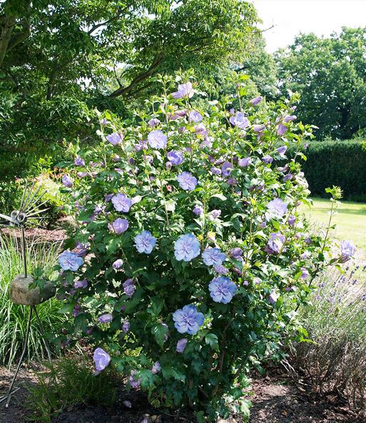 Gefüllter Hibiskus Chiffon Blau 1a Pflanzen Baldur Garten