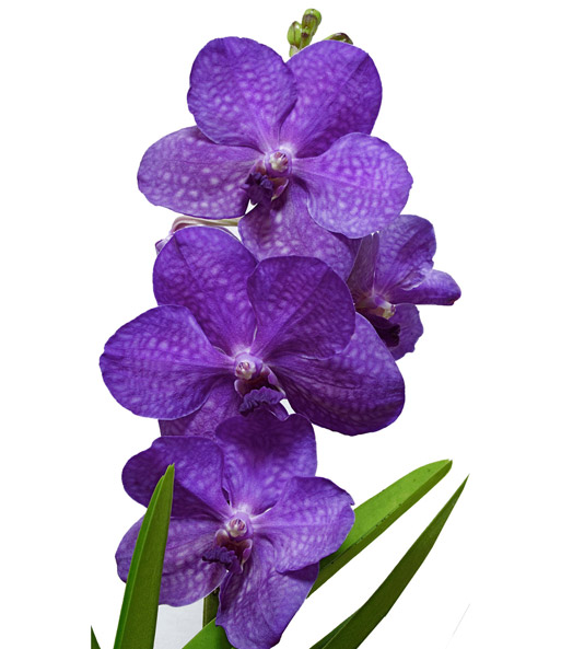 Blaue Zimmer Orchidee Princess Mikasa Baldur Garten