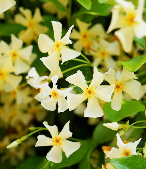 Winterharter Jasmin 'Star of Toscane®'