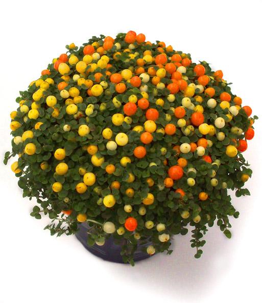 Korallenbeere 39 minestrone 39 1a zimmerpflanzen bestellen for Zimmerpflanzen bestellen