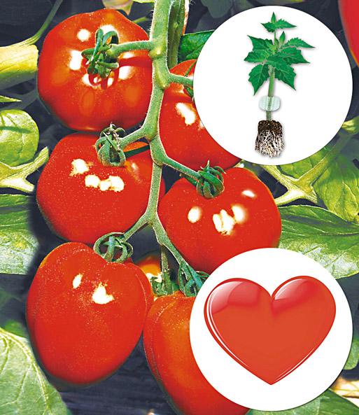 herz tomate 39 fleurette 39 f1 1a qualit t kaufen baldur garten. Black Bedroom Furniture Sets. Home Design Ideas