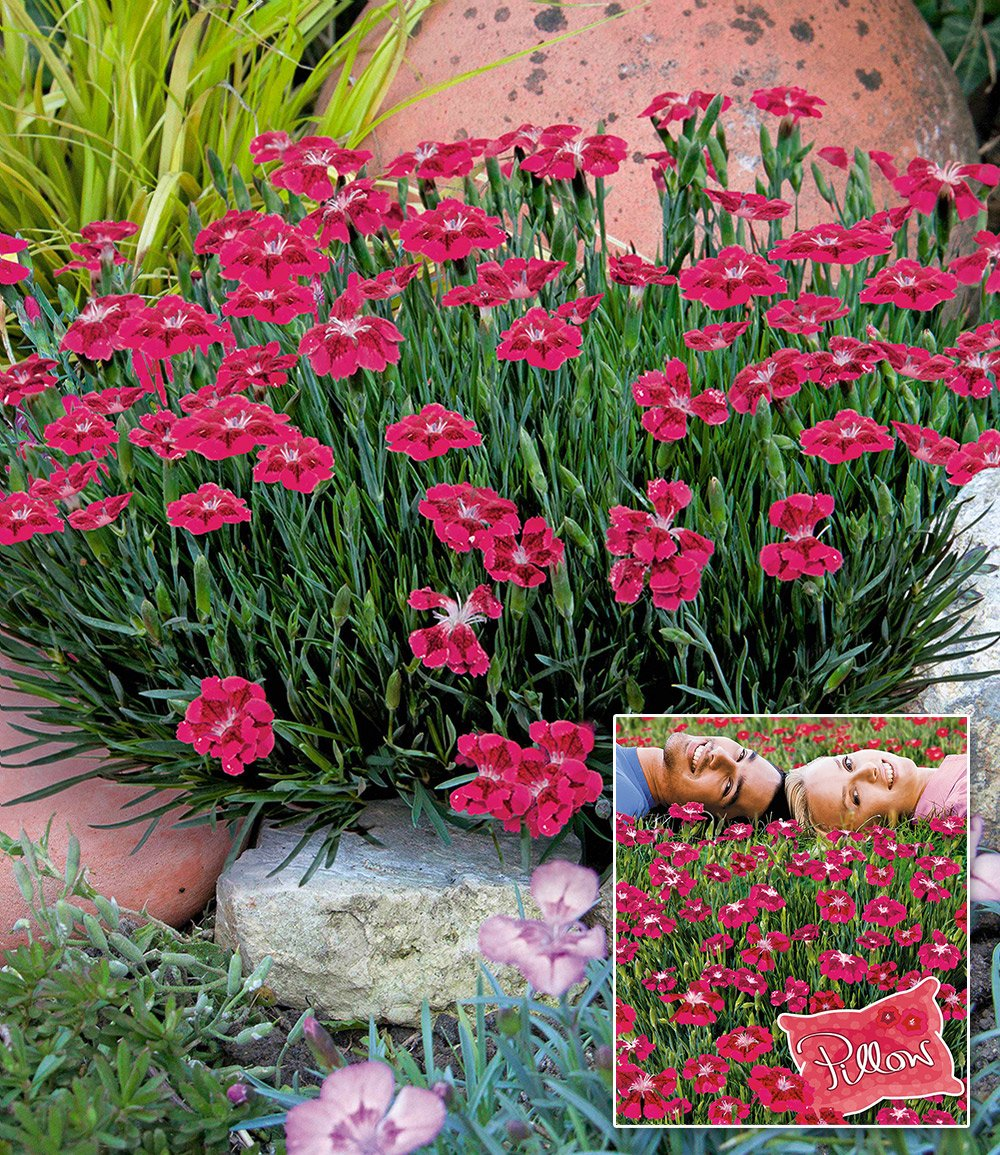 bodendecker nelke red pillow top stauden baldur garten