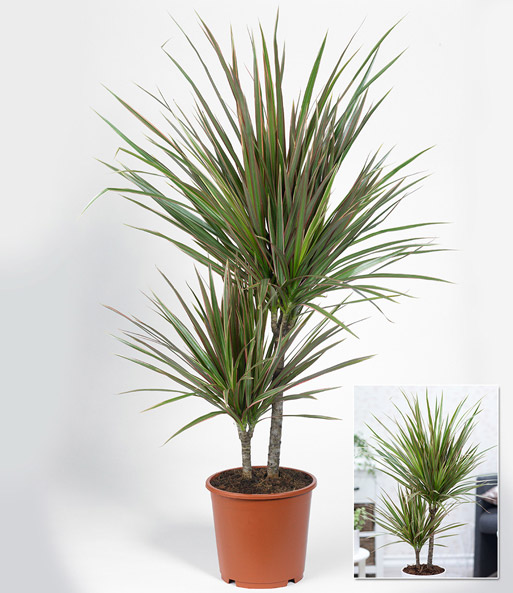 dracena 39 marginata bicolor 39 ca 60 cm hoch 1a qualit t baldur garten. Black Bedroom Furniture Sets. Home Design Ideas