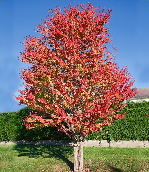 Lebkuchenbaum Top Qualität Baldur Garten