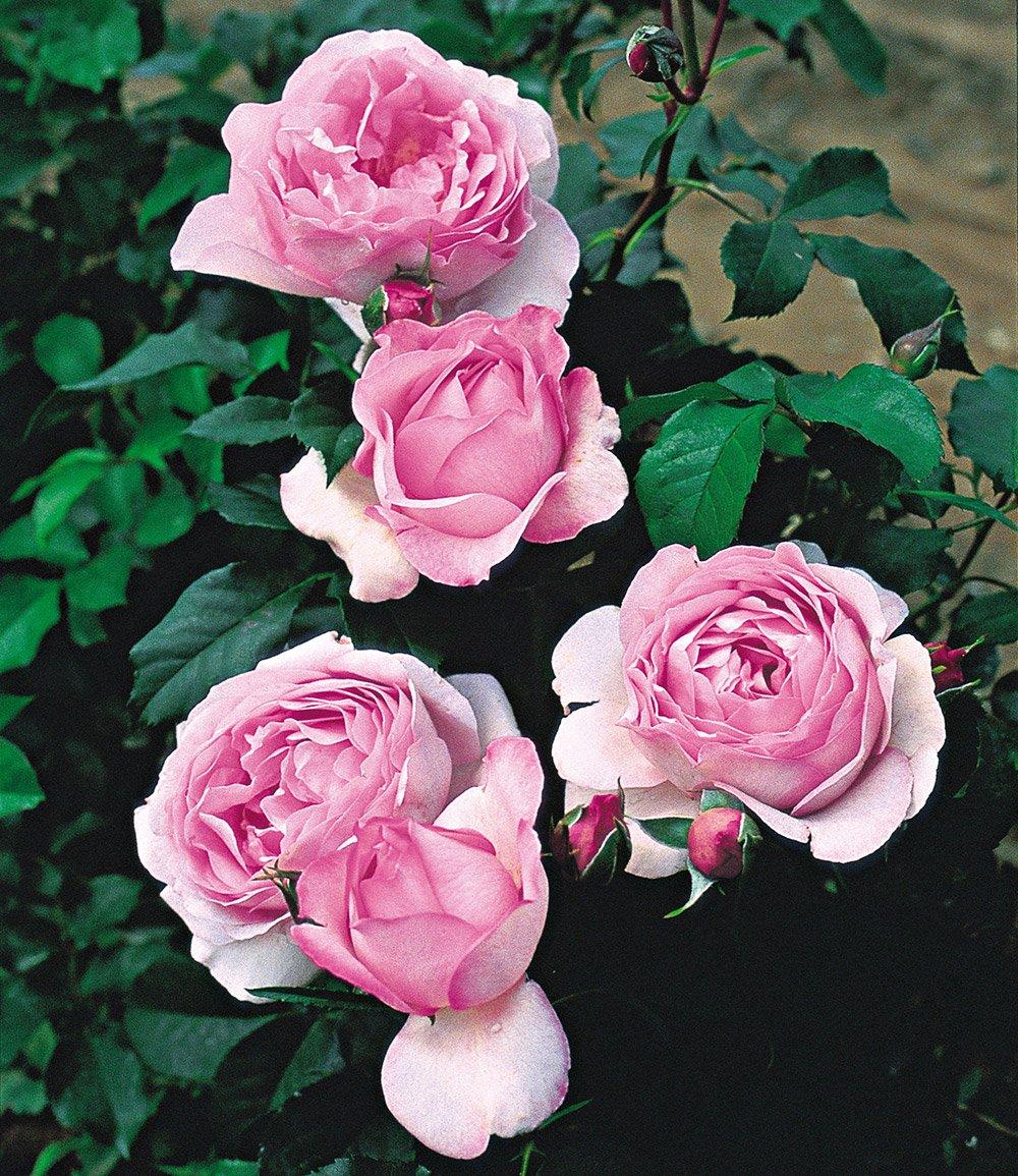 rose der liebe 39 souvenir de louis a rosa rosen bei. Black Bedroom Furniture Sets. Home Design Ideas