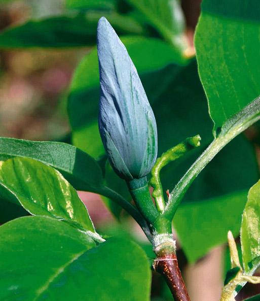 magnolie blue opal 1a qualit t kaufen baldur garten. Black Bedroom Furniture Sets. Home Design Ideas
