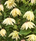 Clematis 'Amber'