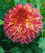 Dahlie 'Myrtle´s Folly'