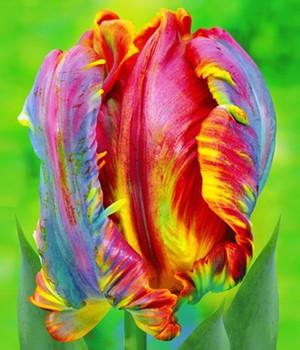 Regenbogen-Tulpe ´Blumex&reg,´,10 St.